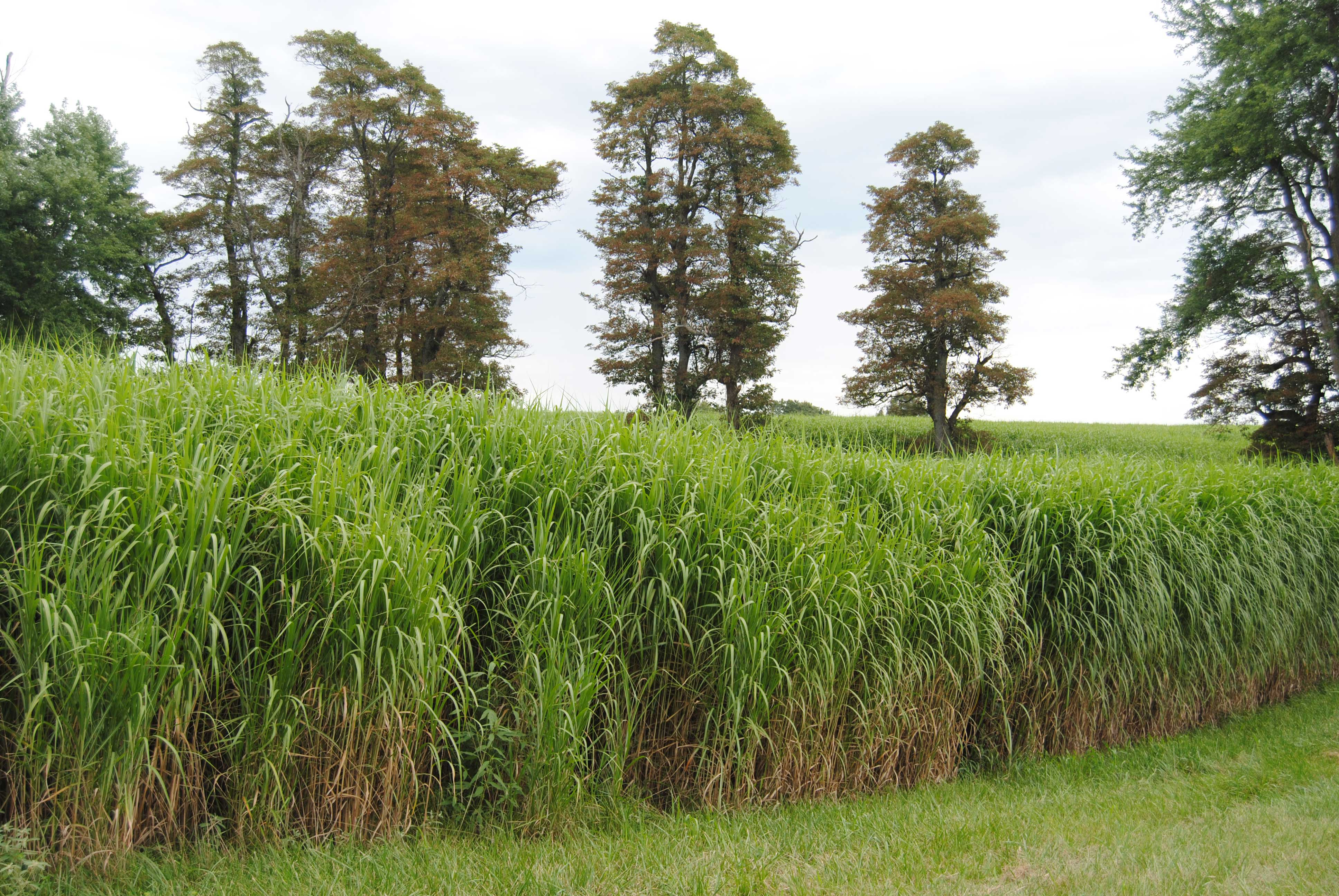 How Miscanthus improves soil and water quality