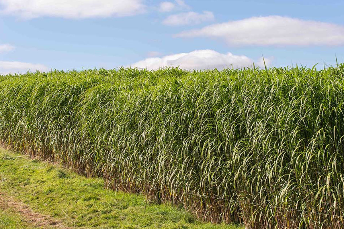 MFiber Why Miscanthus