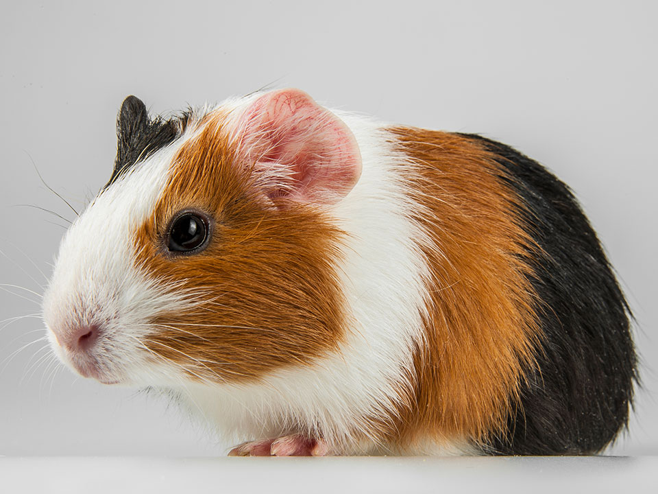 MFiber Pets We Serve Guinea Pigs