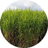 MFiber uses Miscanthus